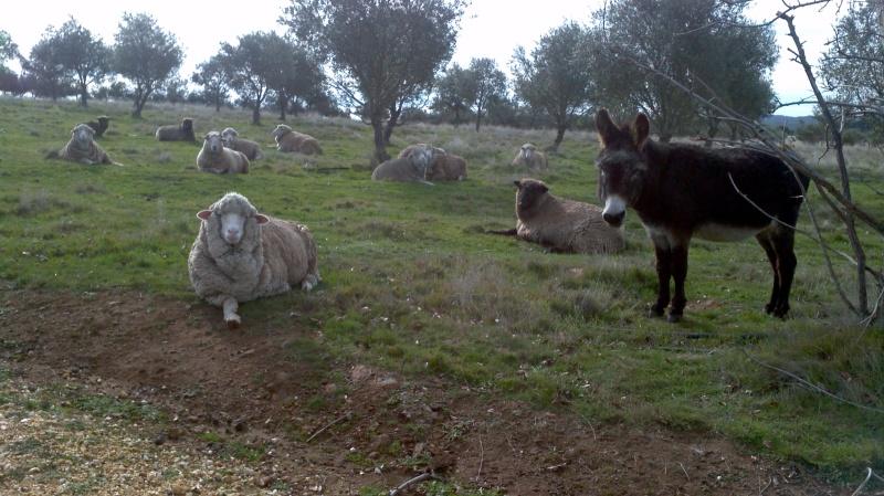 Samba the shepherd